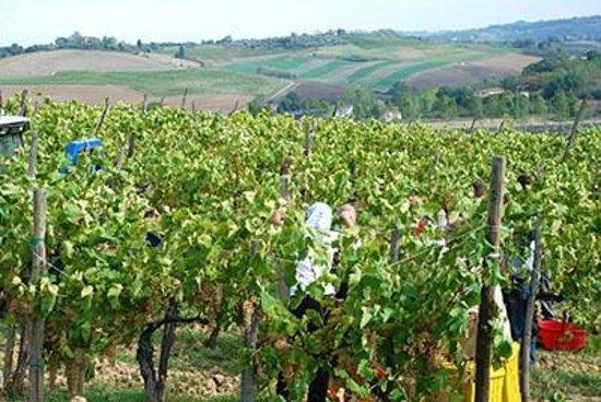 Tenuta Torciano: Harvest