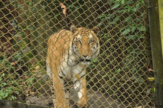 Padmaja Naidu Himalayan Zoological Park: the magnificient tiger