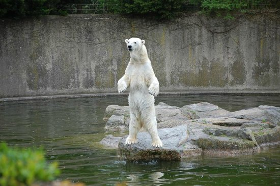 Berlin Zoological Garden : Polar bear