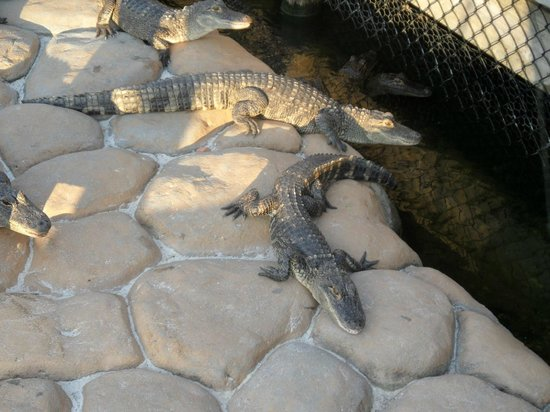 Lost Caverns Adventure Golf: Feeding the alligators is a must!