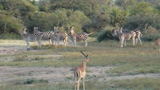 Kings Camp: Herd of zebra