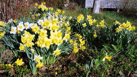 Willow Retreat: Daffodils and Narcissus