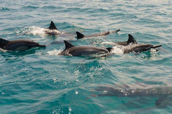Dolphins Picture Of Dolphin Swim Adventures With Oneloveonespirit Kailua Kona Tripadvisor