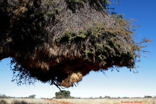 Kalahari Anib Lodge: big nest