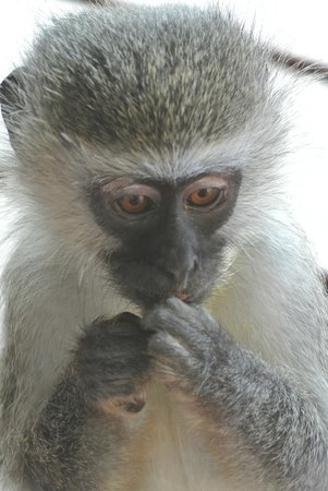 Kwantu Private Game Reserve: monkey visitor