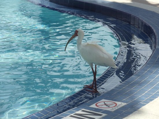 BEST WESTERN Key Ambassador Resort Inn: animales silvestres en la piscina