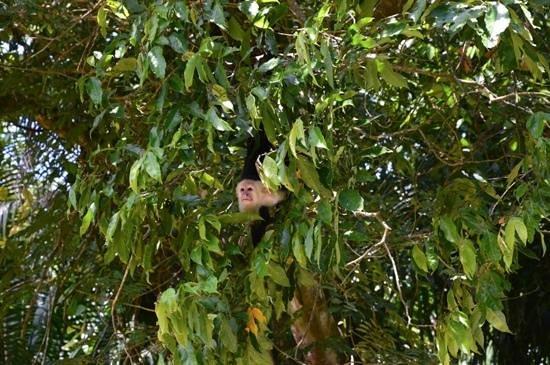 Rancho Pacifico: capuchin monkey on the mangrove tour