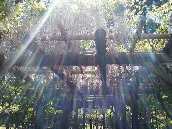 Kasuga Grand Shrine: 萬葉植物園の藤棚