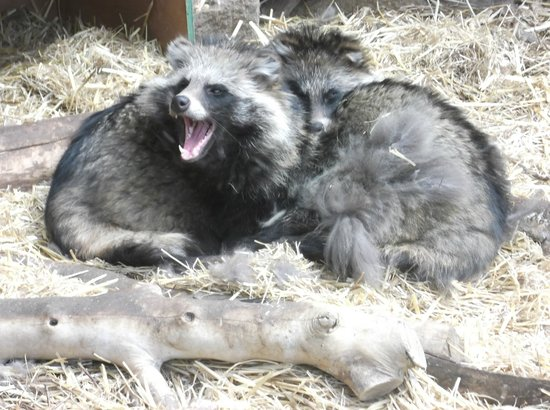 Ponderosa Rural Therapeutic Centre: racoon dog