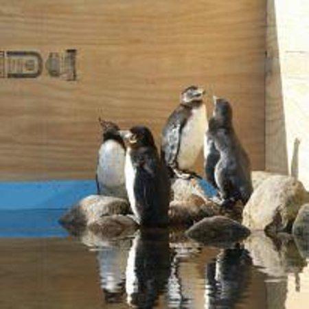 Nykøbing Falster, Danmark: Penguins in Guldborgsund Zoo