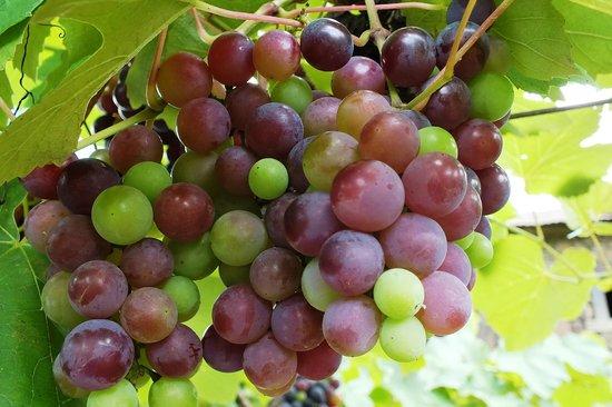 Caminhos de Pedra: Cacho de uva