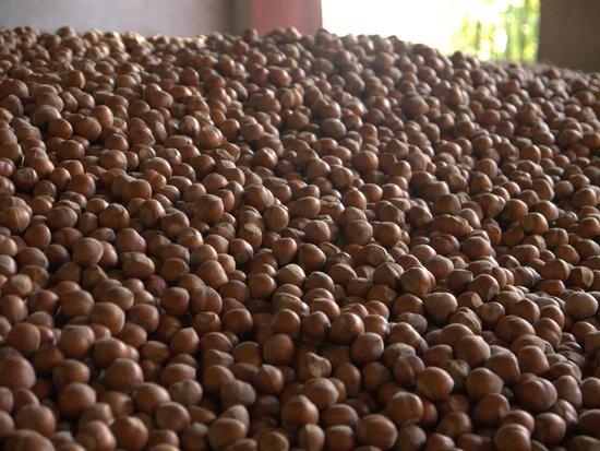 Cascina Sant'Eufemia: Hazelnuts!