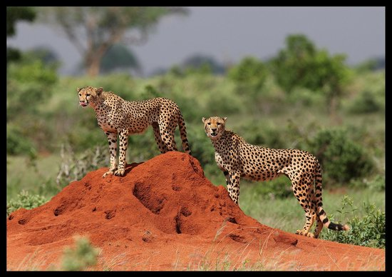 Lorika Adventures Day Tours: cheetahs