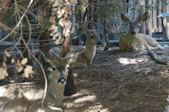 Yosemite Valley Lodge : Mule deer outside Yosemite Lodge