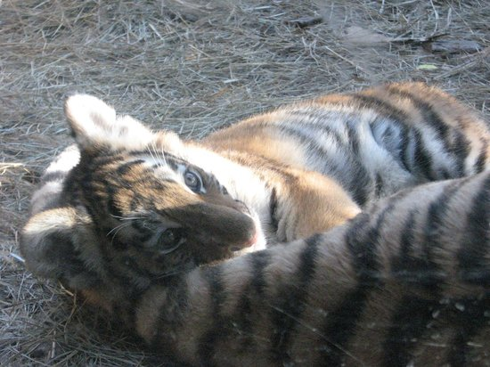 Omaha, NE : tiger in the cat house.