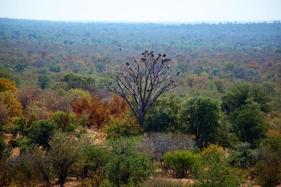Victoria Falls Safari Lodge: View of vulture tree at Safari Lodge.
