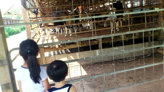 Hay Dairies: Kids are thrilled seeing live goats