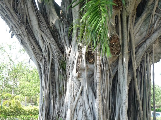 Wyndham Palm-Aire: unusual tree outside sabal