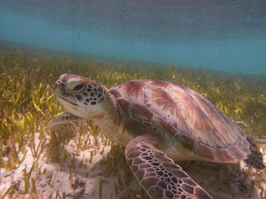 Embudu Village: Embudo turtle