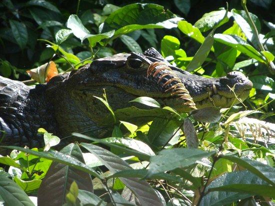 Tortuguero, Kosta Rika: Cayman on teh canal tour