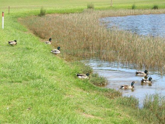 Aroeira Golf Resort : Ducks in the lake