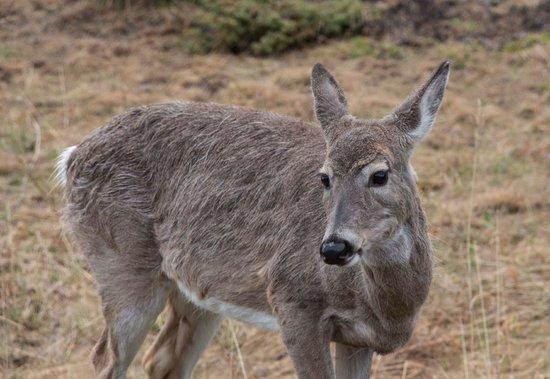 Kananaskis Country, Canada: Deer at Dawn