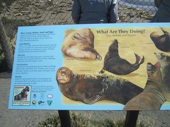 Piedras Blancas: Big Fat Elephant Seals