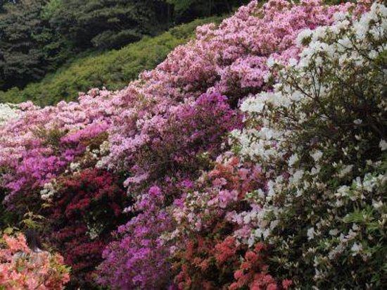 Kurume Forest Tsutsuji Park : 満開の一部です