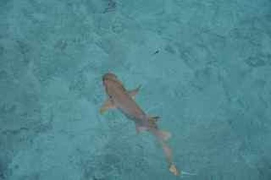 Kuda Funafaru Resort and Spa: Gummy shark swimming below our villa.
