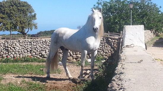 Cavalls Son Angel: Macho Stalion