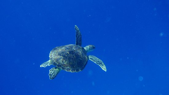 Danima Resort & Restaurant: Snorkelling with a turtle
