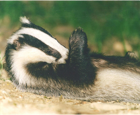 Devon Badger Watch: Cub grooming