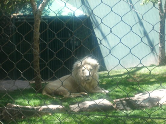 The Lion With Bed Head He Just Woke Up Picture Of Siegfried Roy 39 S Secret Garden And