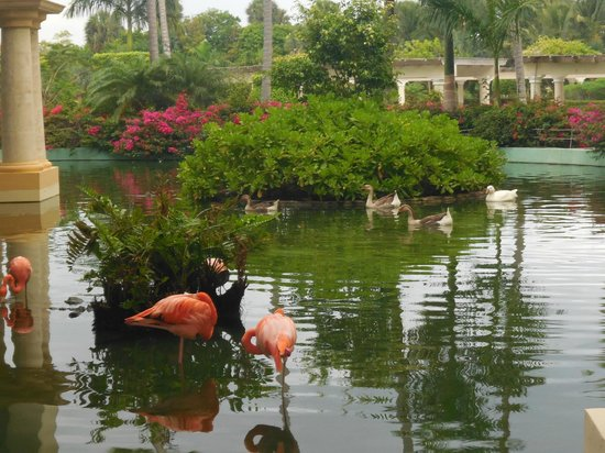 ‪‪Iberostar Grand Hotel Bavaro‬: the flamingos were beautiful‬