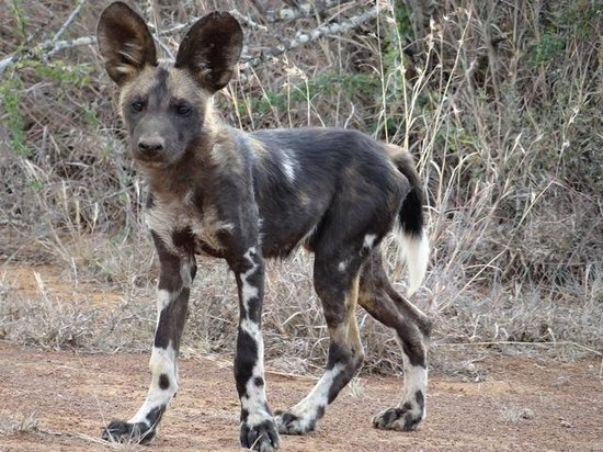 Suyian Soul: Tui pack Wild Dog Puppy