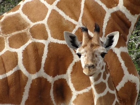 Suyian Soul: Baby Reticulated Giraffe