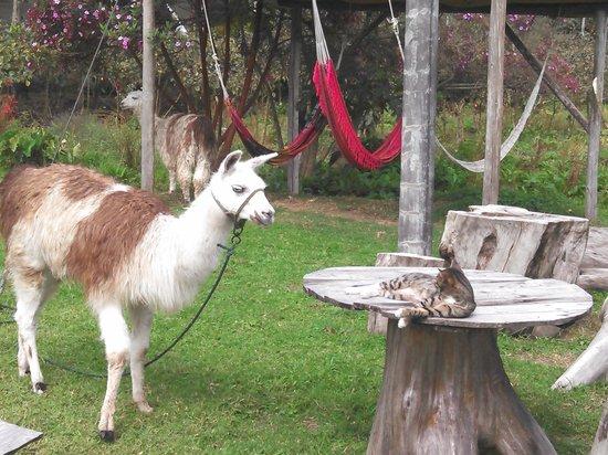 Hosteria Las Orquideas: Pepe the cat & friendly llamas on grounds