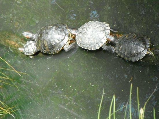 Willowbank Wildlife Reserve: Turtles at willow bank