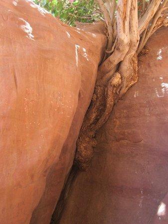 Rumshines: fig splitting the rock