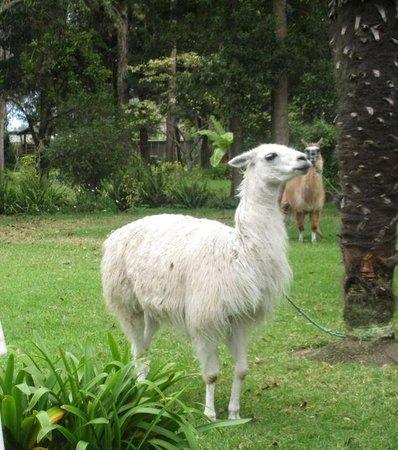 Hacienda Cusin: Llamas