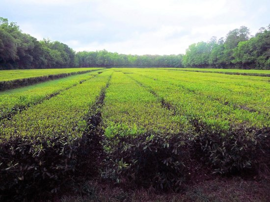 Charleston Tea Plantation: Tea plants that are almost ready for harvest