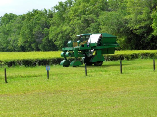 Charleston Tea Plantation: Big green machine that cuts the tea plants and does work of 500 handpickers