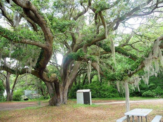 Charleston Tea Plantation: Large oak with Resurrection fern growing on it