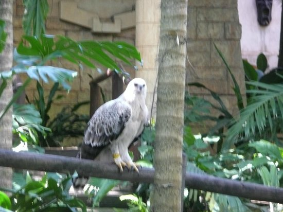 Fairmont Zimbali Lodge: Crested Eagle looking for lunch