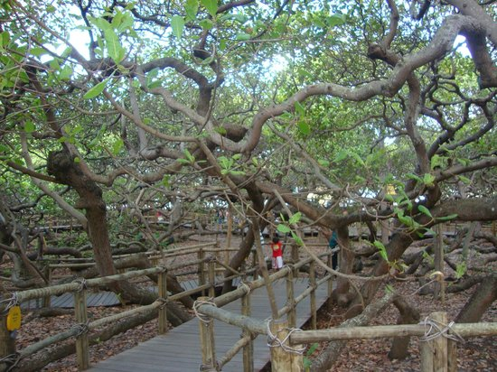 World's Largest Cashew Tree