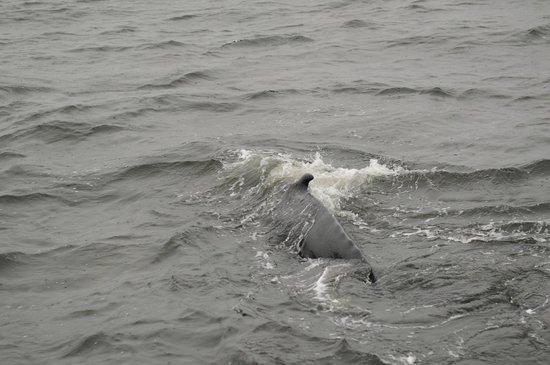 Croisières 2001 : Wal direkt beim Boot