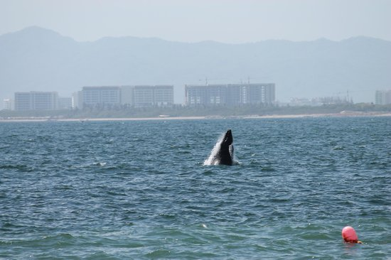 Secrets Vallarta Bay Puerto Vallarta: Very cool whale right off of beach!!
