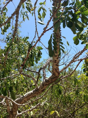 Bahamas Out Island Adventures - Day Trips: Poisonwood tree