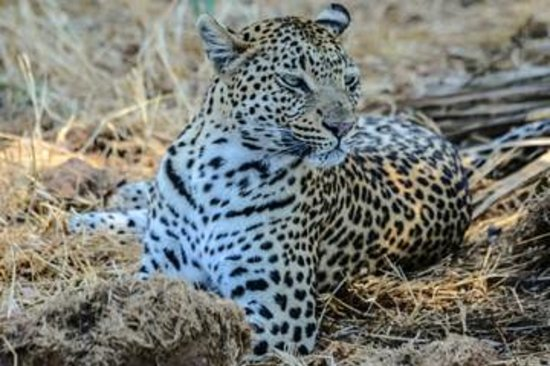 Kwetsani Camp: This female leopard was gorgeous and posed for us twice.