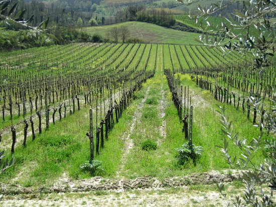 Fattoria Poggio Alloro: A close up of the vinyards